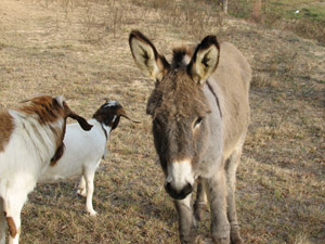 Donkey/Goats