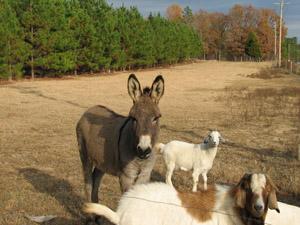 Donkey/Goats2