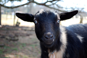 Cadillac Goat