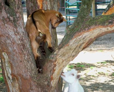 Goat Awareness Month