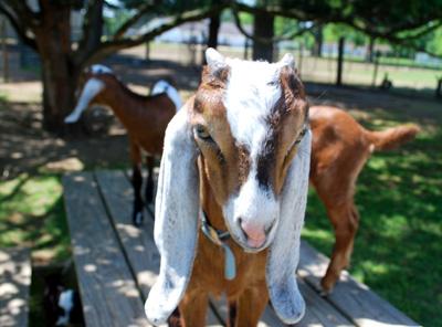 International Goat Week