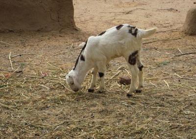 Indian Goat