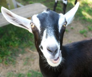 Never forget the awesomeness of goat. Or you'll be voodooed.